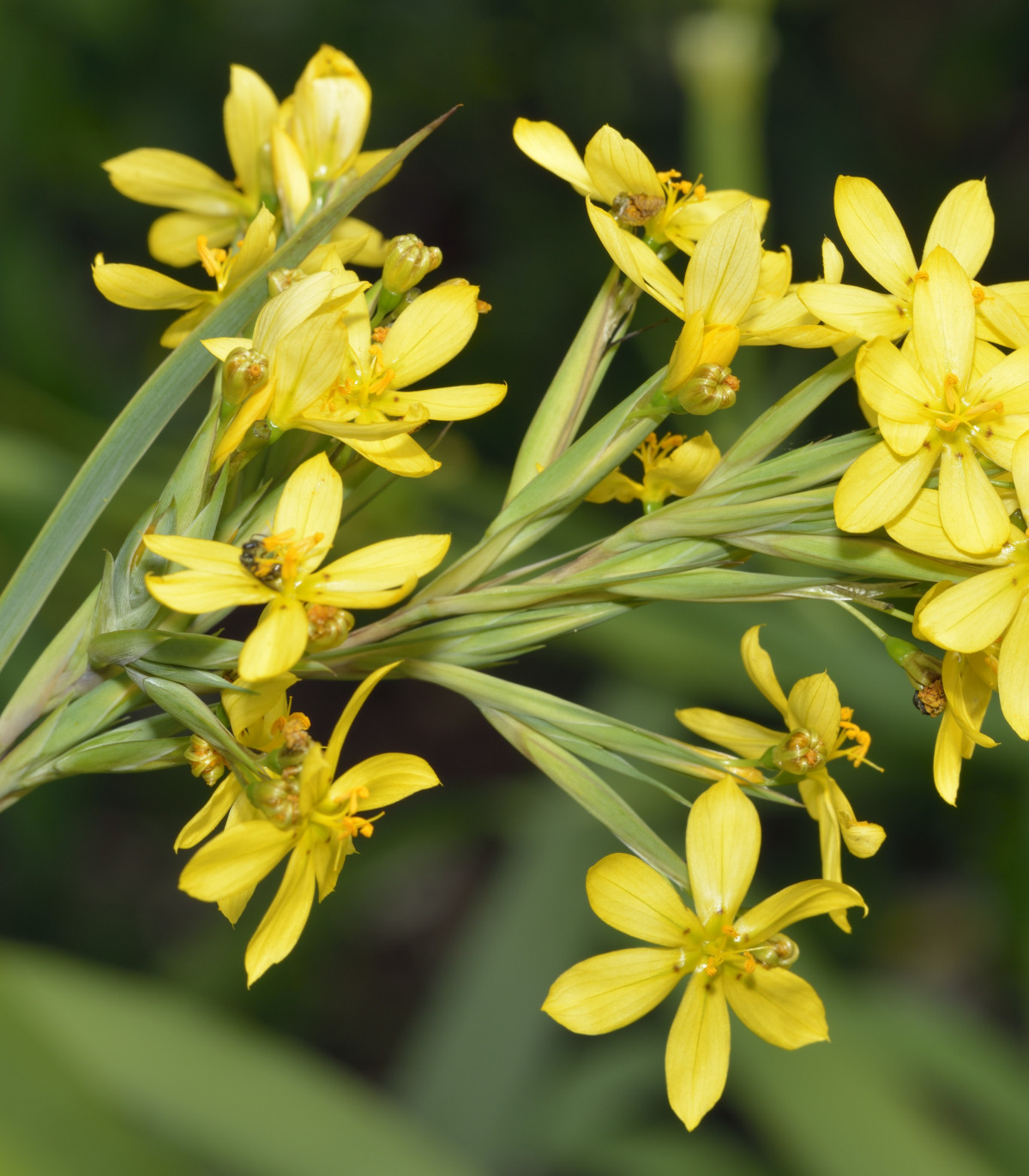 Badil žltý - Sisyrinchium californicum - semená - 10 ks