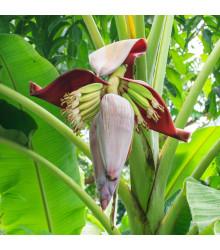 Banánovník - Musa sikkimensis - semená banánovníka - semiačka - 3 ks