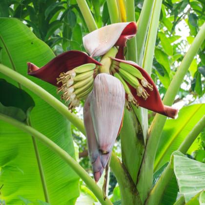 Banánovník - Musa sikkimensis - semená banánovníka - 3 ks