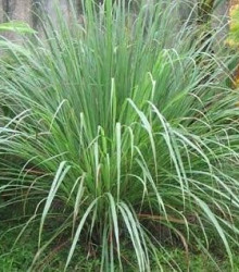 Citrónová tráva pravá - Voňatka winterová - Cymbopogon winterianus - semená trávy - semiačka - 20 ks