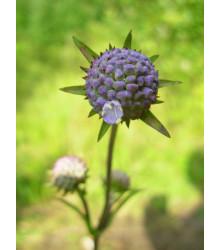 Čertkus lúčny - Succisa pratensis - semená - 20 ks