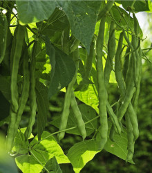 Fazuľa kolíková Algarve - Phaseolus vulgaris - semená fazule - 20 ks