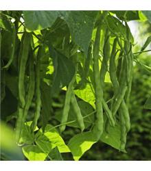 Fazuľa popínavá Algarve - Phaseolus vulgaris - semená - 20 ks
