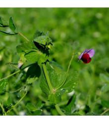 Hrach cukrový pestrofarebný - Pisum sativum - semená hrachu - 8 g