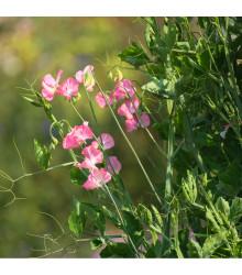 Hrachor voňavý kráľovský lososovo ružový - Lathyrus odoratus - semená - 20 ks