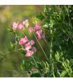 Hrachor voňavý kráľovský lososovo ružový - Lathyrus odoratus - semená hrachora - semiačka - 20 ks