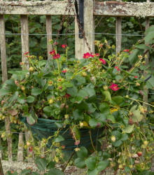 Jahoda veľkoplodá Temptation - Fragaria ananassa - semená - 10 ks