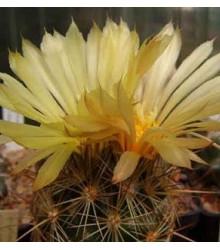 Kaktus Coryphantha bergeriana - semená kaktusu - semiačka - 5 ks