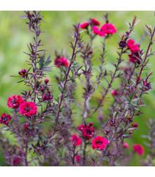 Balmín metlatý - Leptospermum scoparium - semená balmína - 10 ks