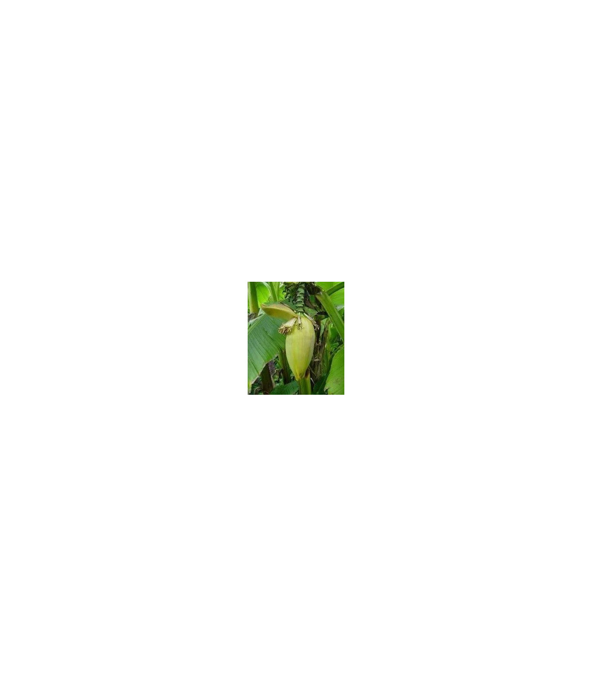 Banánovník Bau - Musa bauensis - semená banánovníka - semiačka - 3 ks