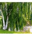 Breza previsnutá - Betula pendula - semená brezy - semiačka - 15 ks