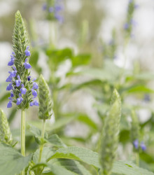 Chia - Salvia hispanica - semená - 10 ks