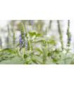 Chia - Salvia hispanica - semená chie - semiačka - 10 ks