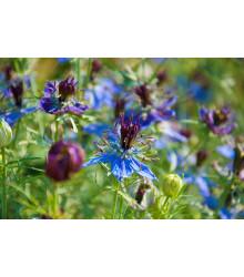 Černuška damascénska modrá - Nigella Damascena - semená - 200 ks