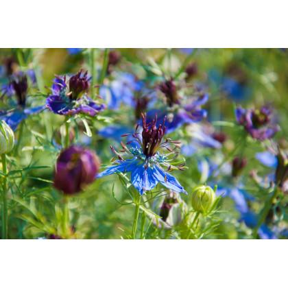 Černuška damašská modrá - Nigella Damascena - semená černušky - semiačka - 0,5 g
