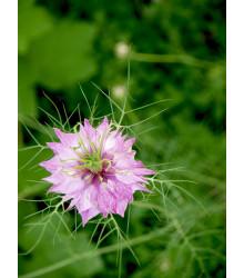 Černuška damascénska ružová - Nigella Damascena - semená - 200 ks