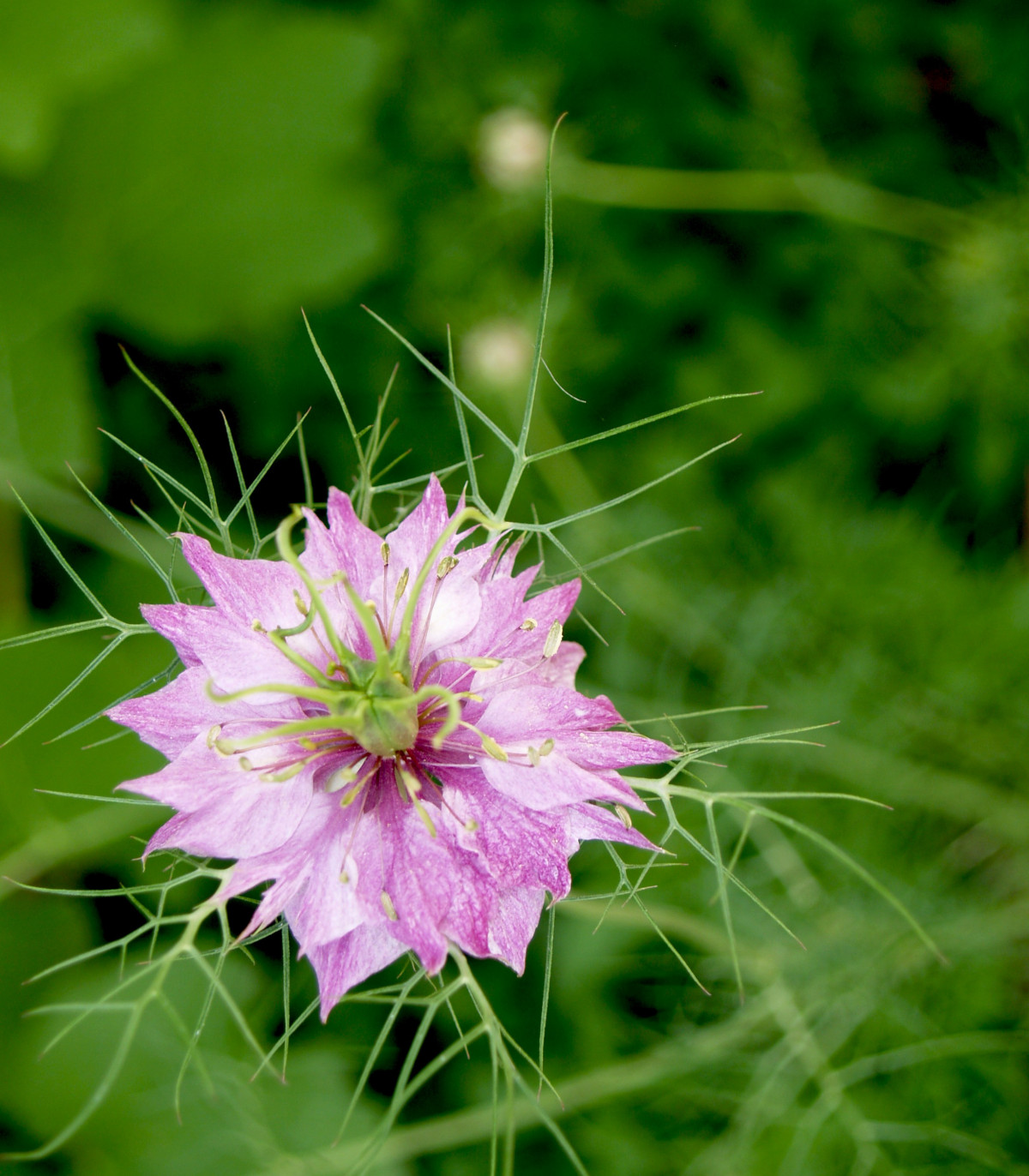 Černuška damašská ružová - Nigella Damascena - semená černušky - semiačka - 0,5 g