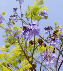 Dalbergia čierna - Dalberhia nigra - semená - 5 ks