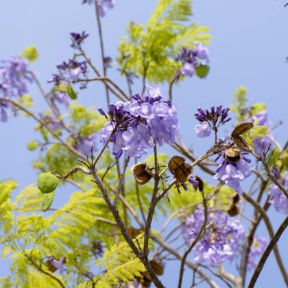 Dalbergia čierna - Dalberhia nigra - semená dalbergie - semiačka - 5 ks