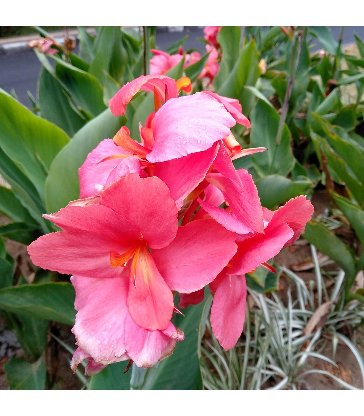 Kana ružová La Boheme - Canna - cibuľoviny - 1 ks