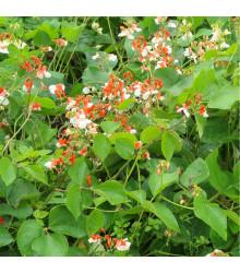 Fazuľa šarlátová popínavá Hestia - Phaseolus coccineus - semená - 10 ks