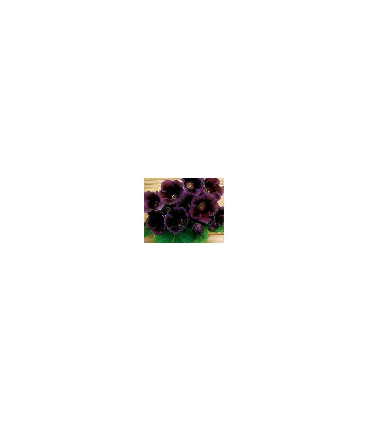 Gloxínia Hollywood - cibuľky gloxínie - 1 ks