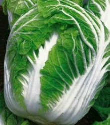 Kapusta pekingská Michihili - Brassica rapa ssp. pekinensis - semená - 0,8 g