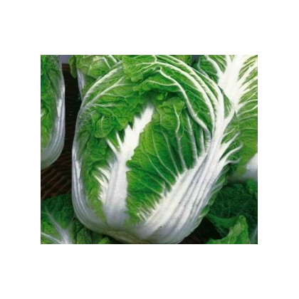 Kapusta pekingská Michihili - semená kapusty - semiačka - 0,8 gr