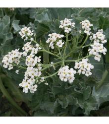 Katran prímorský - Crambe maritima - semená - 4 ks