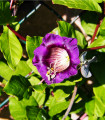 Kobea popínavá modrá - Cobaea scandens - semená kobey - semiačka - 0,5 gr