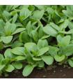 Zelená horčica Komatsuna - Brassica rapa var. komatsuna - semená - 20 ks