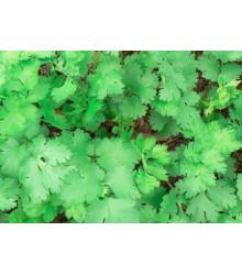 Koriander siaty Caribe - Coriandrum sativum - semená - 50 ks