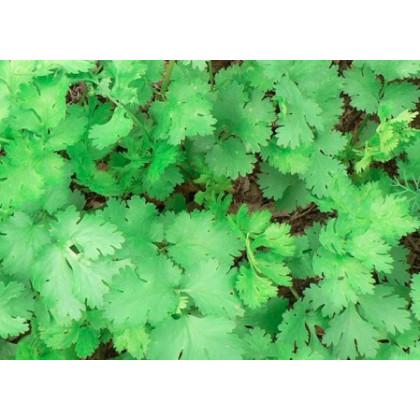 Koriander Caribe - Coriandrum sativum - semená koriandra - semiačka - 50 ks