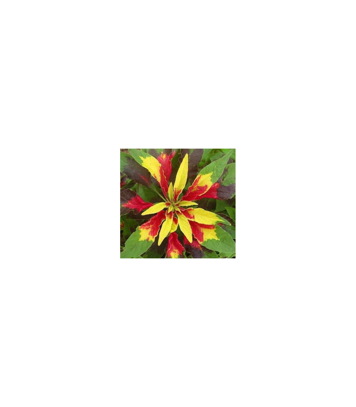 Láskavec trojfarebný - Amaranthus tricolor - semená láskavca - semiačka - 0,2 gr