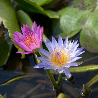Lekno zmes farieb - Nymphaea caerulea - semená - 5ks