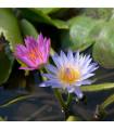 Lekno zmes farieb - Nymphaea caerulea - semená lekna - semiačka - 5 ks