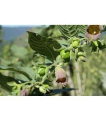 Ľuľkovec zlomocný - Atropa belladonna - semená ľuľkovca - 10 ks
