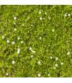 Machovička šidlovitá - Sagina subulata - semená - 0,01 g