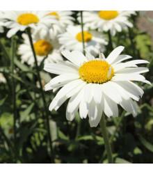 Margaréta biela Alaska - Chrysanthemum leucanthemum max. - semená margaréty - semiačka - 250 ks