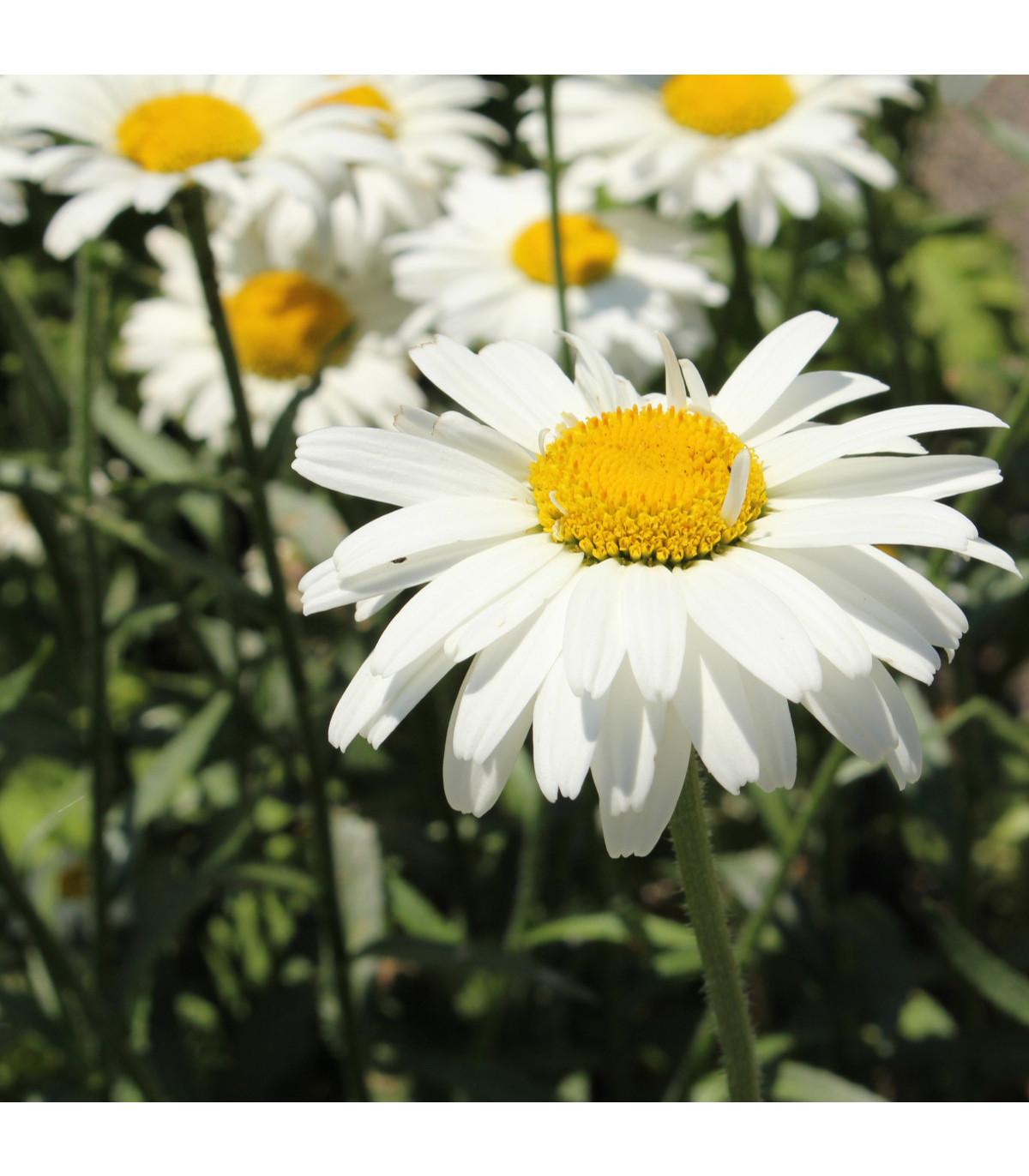 Margaréta biela Alaska - Chrysanthemum leucanthemum max. - semená - 250 ks