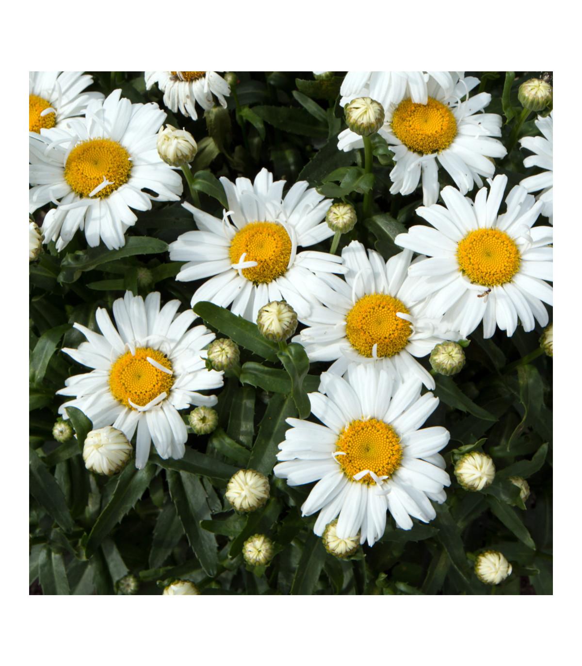 Margaréta biela Hviezda z Antverp - Chrysanthemum leucanthemum max. - semená - 0,4 g