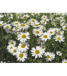 Margaréta biela kráľovná - Chrysanthemum leucanthemum max. - semená margaréty - semiačka - 600 ks