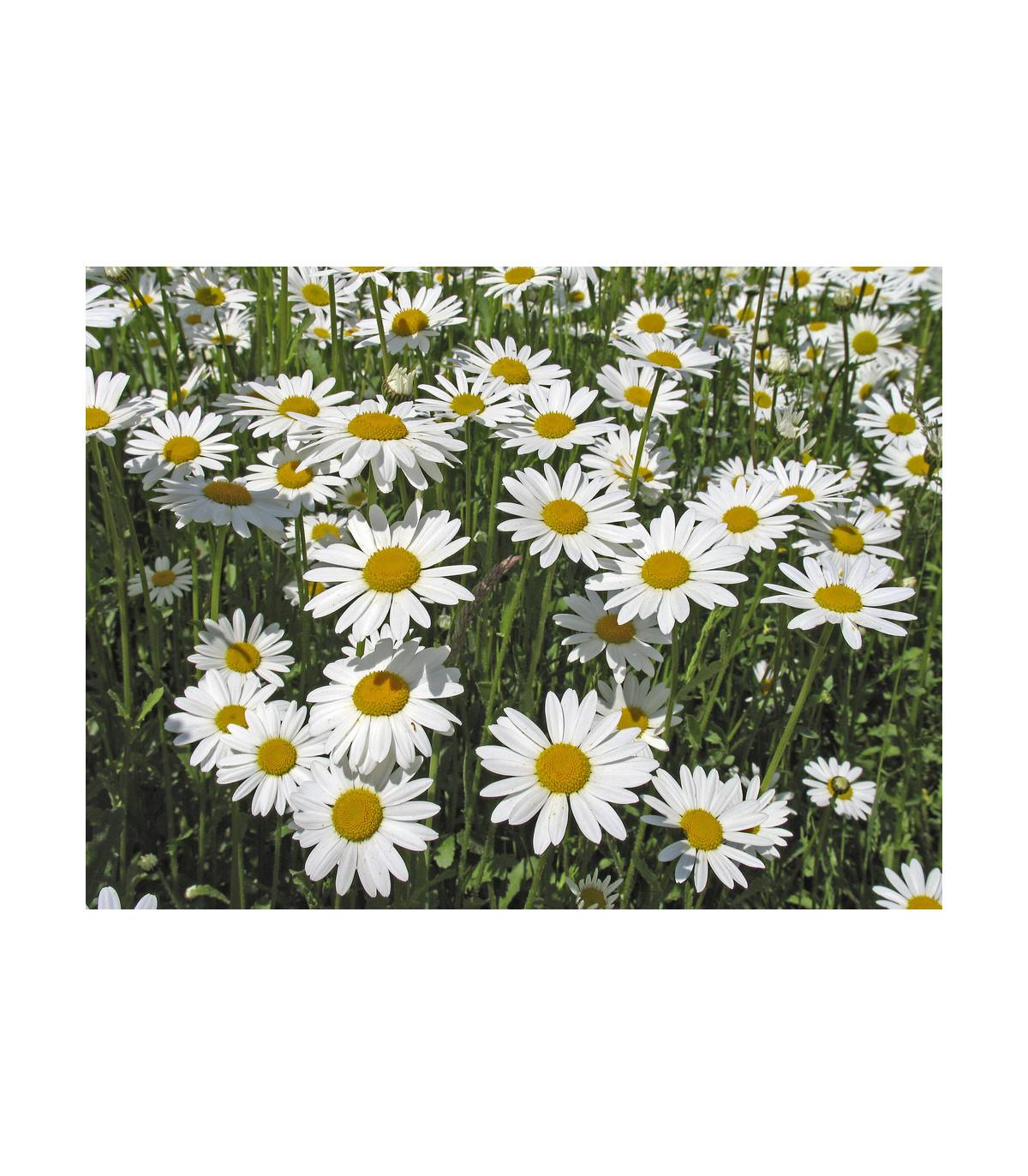 Margaréta biela kráľovná - Chrysanthemum leucanthemum max. - semená - 600 ks