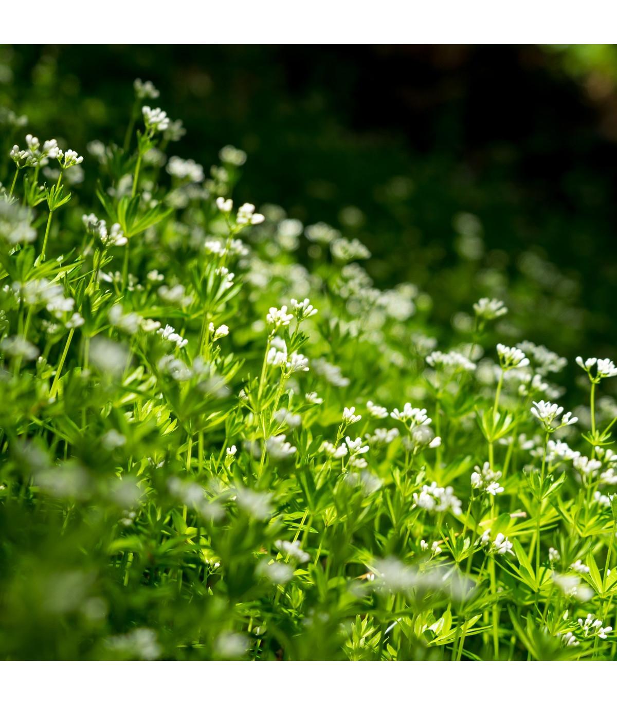 Marinka voňavá - Asperula odorata - semená marinky - semiačka - 6 ks