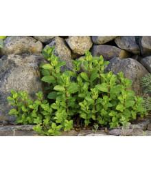 Mäta klasnatá - Mentha viridis - semená - 25 ks