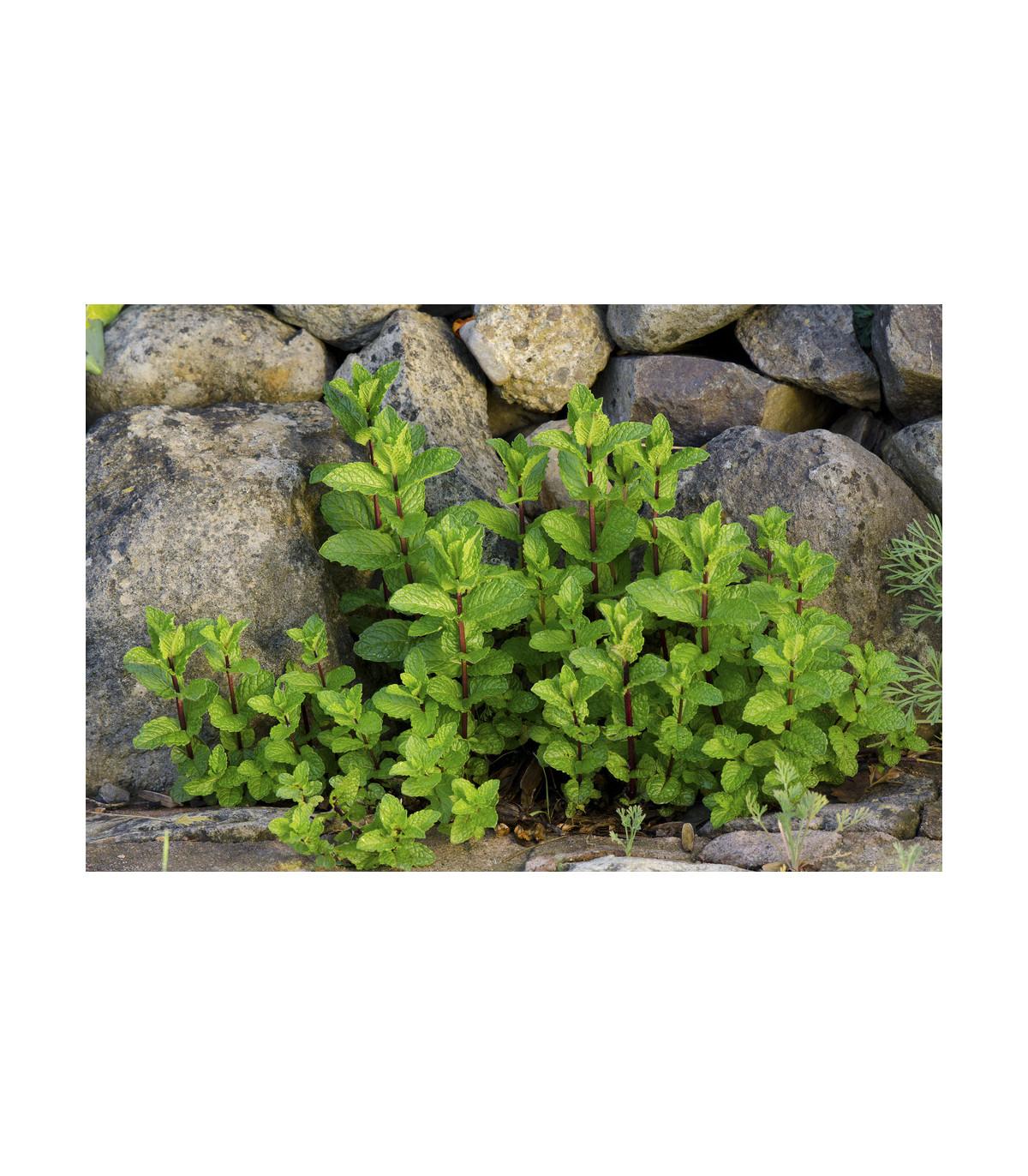 Mäta klasnatá - Mentha viridis - semená mäty - semiačka - 25 ks