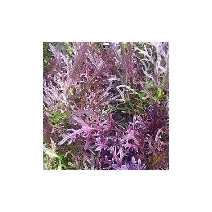Mizuna Červený Devil F1 - japonská horčica - semená mizuny - semiačka - 0,02 gr