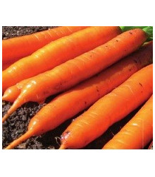 Mrkva F1 Ingot - Daucus carota - semená mrkvy - semiačka - 50 ks