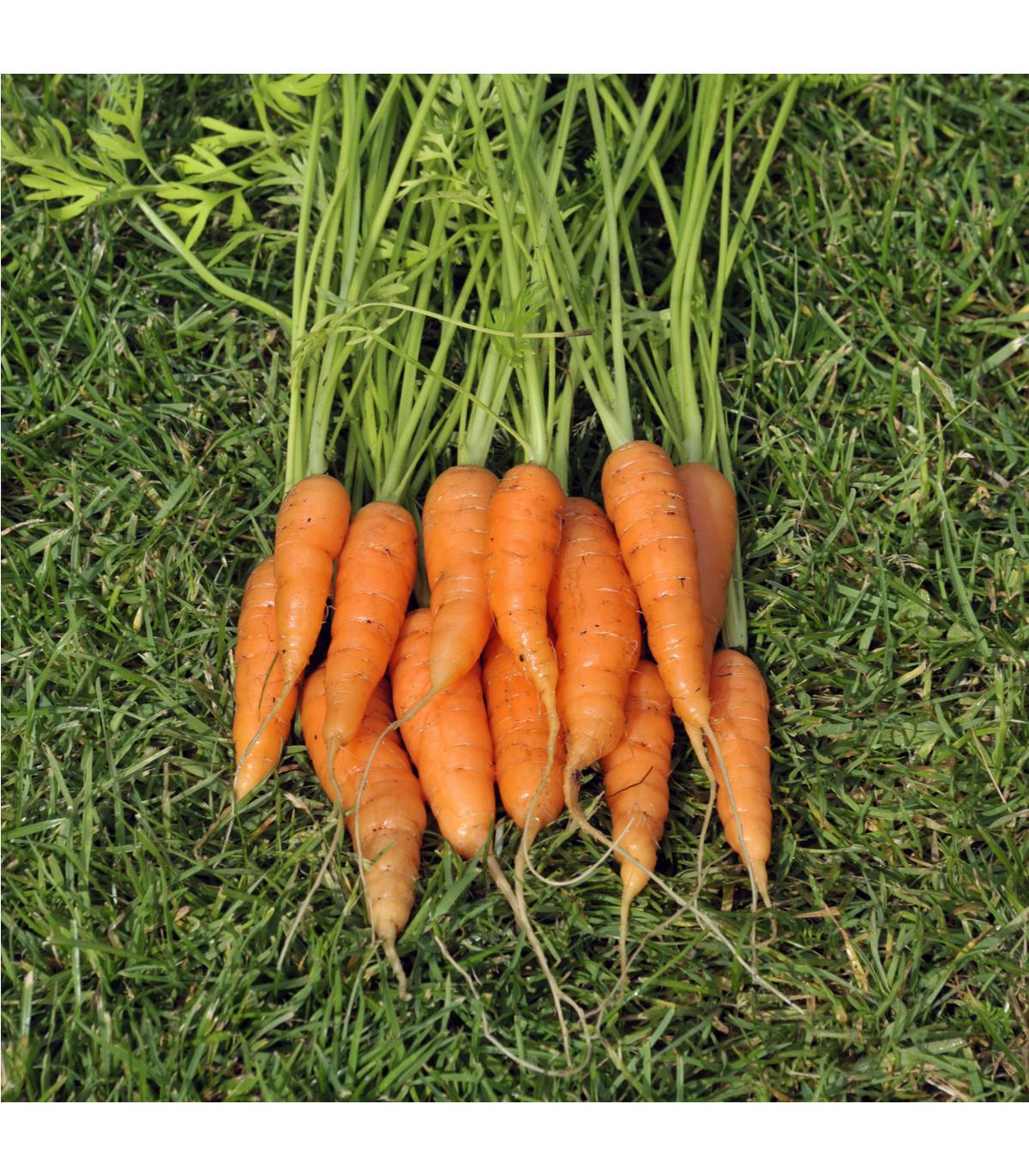 Mrkva karotka Amsterdam skorá - Daucus carota - semená mrkvy - semiačka - 1 gr