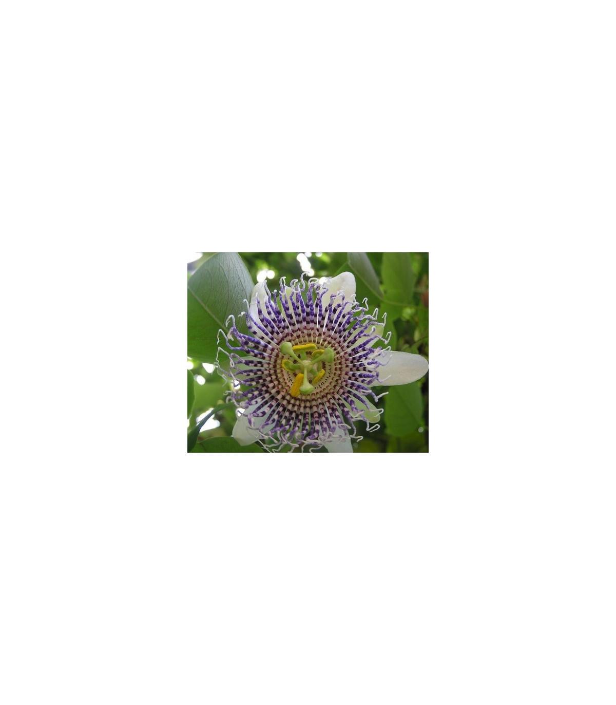 Mučenka krídlatá - Passiflora actinia - semená mučenky - semiačka - 4 ks